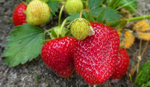 いちごの家庭菜園の育て方!初心者におすすめの簡単な栽培方法