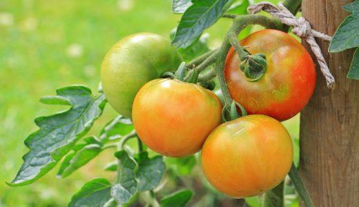 家庭菜園のトマトとミニトマトの育て方!初心者でも簡単に実践できる栽培方法