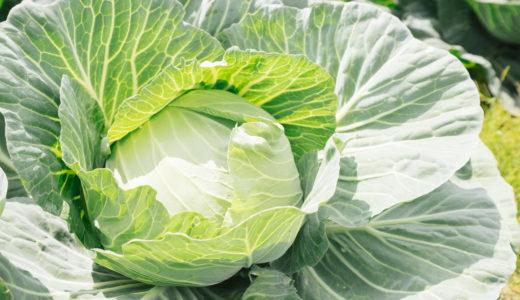 キャベツの家庭菜園の育て方!初心者でも簡単に実践できる栽培方法