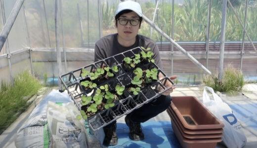 イチゴをプランターで育てる方法!家庭菜園で簡単にいちごを栽培しよう(苗の植え方、肥料、培養土)