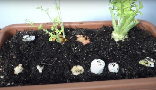 【再生野菜】簡単に野菜を再生栽培する方法プランターでアボカドや小ねぎ、パクチー、ニンジンを育てる【リボベジ】